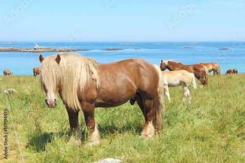 Fototapeta  Troupeau de chevaux Traits Bretons au pré près de la côte