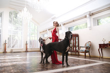 Beautiful Woman In An Elegant Red Dress With Two Dogs Of The Great Dane Dog In A Classic Interior.