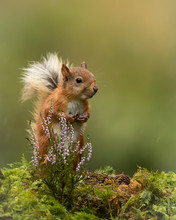 Red Squirrel Sat On A Green Mossy Ground With A Sprig Of Heather And Green Background.