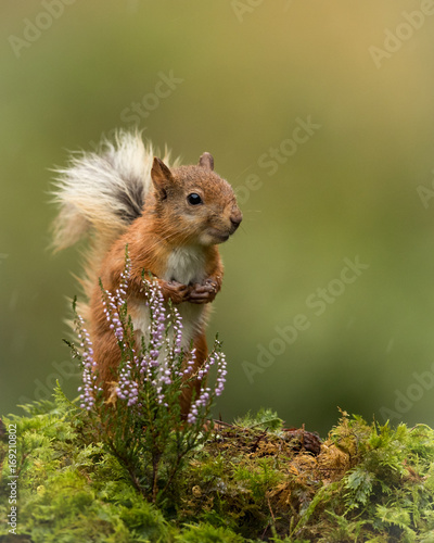 Fotomural  Red Squirrel sat on a green mossy ground with a sprig of heather and green background