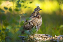 Ruffed Grouse On The Lookout I...