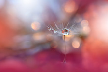 Abstract Macro Photo.Dandelion Flower.Water Drops.Artistic Nature Background.Tranquil Close Up Art Photography.Creative Orange Wallpaper.Floral Fantasy Design.Peach Coral Color.Plant,pure,droplet.