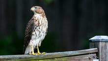 Coopers Hawk 01