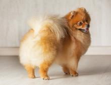 Standing Backrear Young Orange Pomeranian Purebred Dog