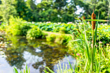 Pond And Cattails In Summer In Kenilworth Park And Aquatic Gardens During Lotus And Water Lily Festival