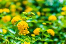 Macro Closeup Of Yellow Lantan...