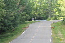 Four Deer Crossing A Road Near College Campus