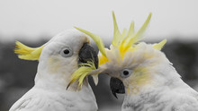 Cockatoo Couple