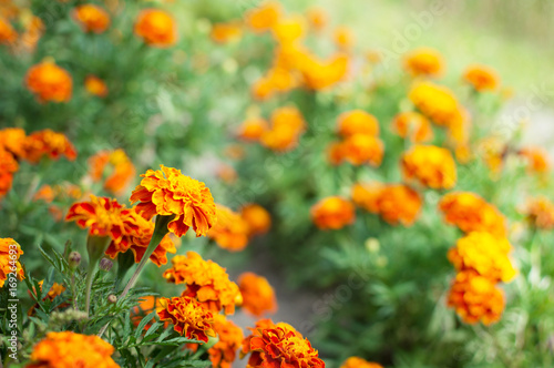 Fotografía  Orange marigolds