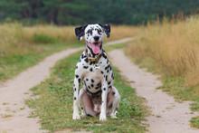 Portrait Of A Funny Dalmatian ...
