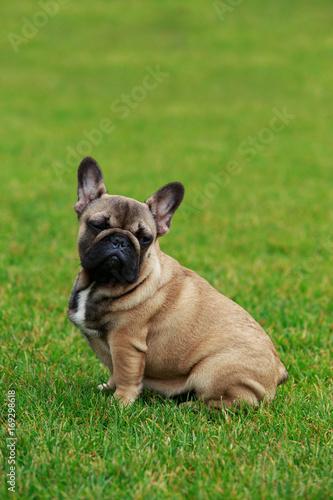 Deurstickers Franse bulldog Dog breed French Bulldog