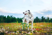 Adorable Dalmatian Dog Outdoor...