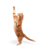 Ginger Tabby Cat Reaching High Up, On White Background