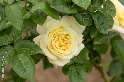 Fotografia  Peace; Hybrid Tea Rose, Pink-Yellow Rose Made by Meilland in France, 1945