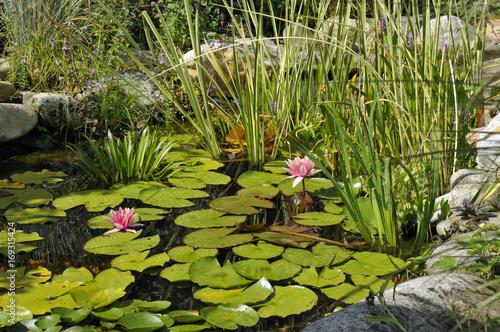 Foto op Canvas Waterlelies kleiner gartenteich mit seerosen