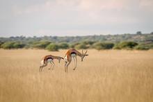 Two Springboks Pronking In The...