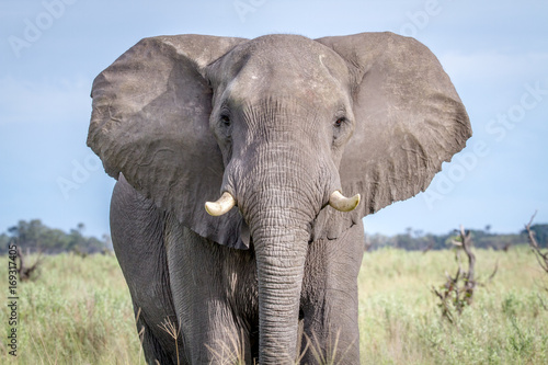 Deurstickers Olifant Elephant starring at the camera.