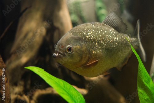 Photo  close up on piranha fish