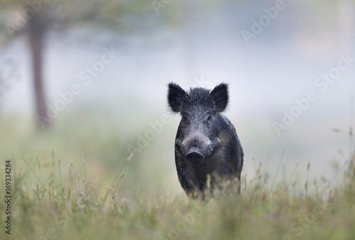 Obraz Wild boar in fog - fototapety do salonu