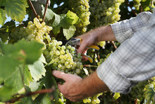 Wine Harvest Hands Cutting Whi...