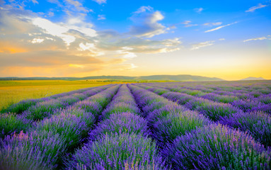Fototapeta Lawenda field of the blossoming lavender on a sunset, on the horizon the field is bordered by hills, bright saturated flowers