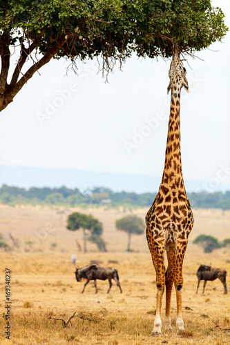 Giraffe in safari park