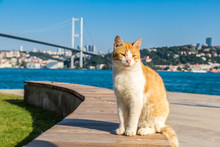 Cat And Bosporus Bridge In Ist...