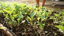 Gardener Pouring Water Kale In Garden Morning