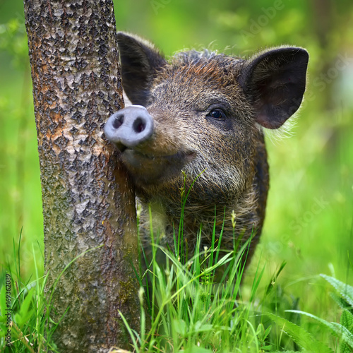 Stampa su Tela Wild boar on the forest