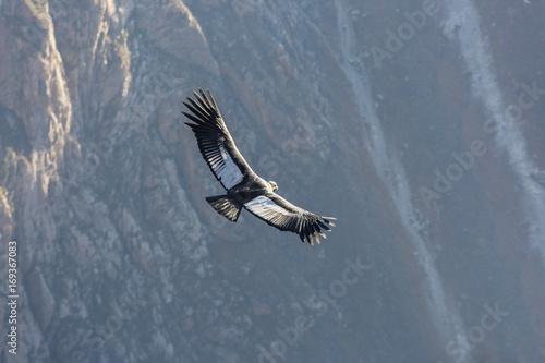 Valokuva  Condor