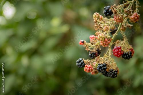 Fotografija  Bunch of red and black Blackberries