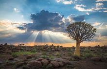 The Quiver Tree, Or Aloe Dicho...