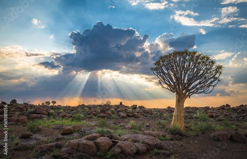 Fotografía  The quiver tree, or aloe dichotoma, Keetmanshoop, Namibia