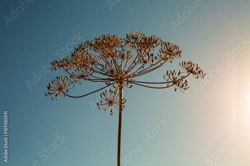 Fotografia Dry dill flower on sky background