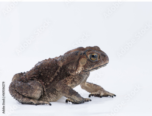 Photo Asian common toad on white background,Amphibian of Thailand