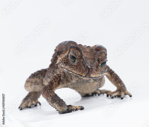 Asian common toad on white background,Amphibian of Thailand Canvas Print