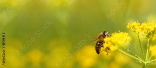 Poster Bee Honeybee harvesting pollen from flowers