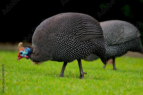 Cuadros en Lienzo guinea fowl