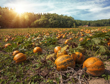 Typical Styrian Pumpkin Field