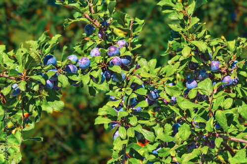 Valokuva  Blackthorn or sloe berries and branches background