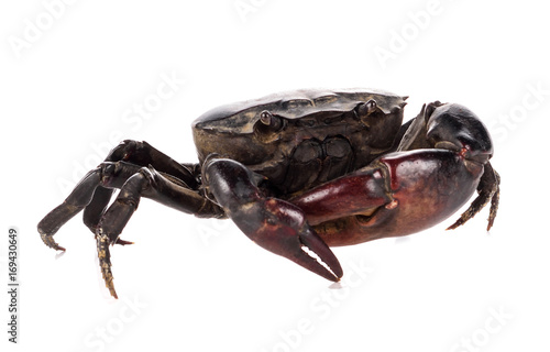 Crab or Field crab isolated on white background