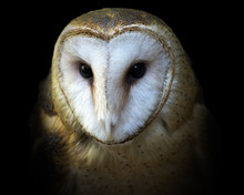 Portrait Of A Barn Owl Isolate...