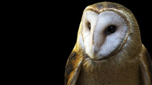 Portrait Of A Barn Owl Isolated On Black