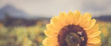 Sonnenblume In Sonnenblumenfel...
