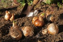Plantation De Bulbes De Narcisses
