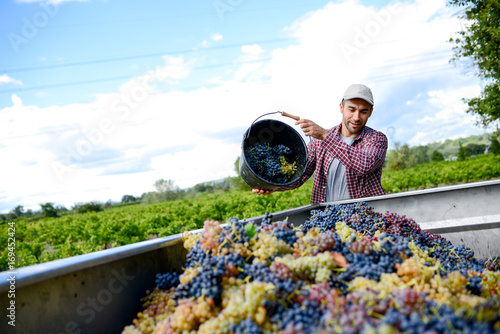 Carta da parati handsome young man winemaker in his vineyard during wine harvest emptying a grap
