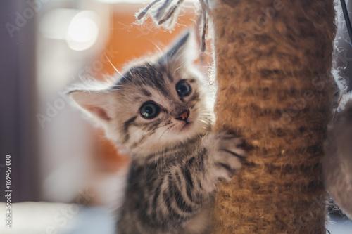 Plakat piękny mały szary kotek o niebieskich oczach