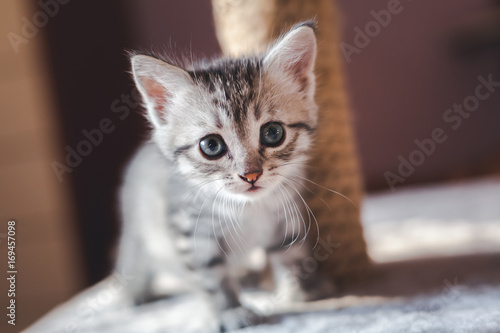 Keuken foto achterwand Kat beautiful little gray kitten with blue eyes, Scottish breed