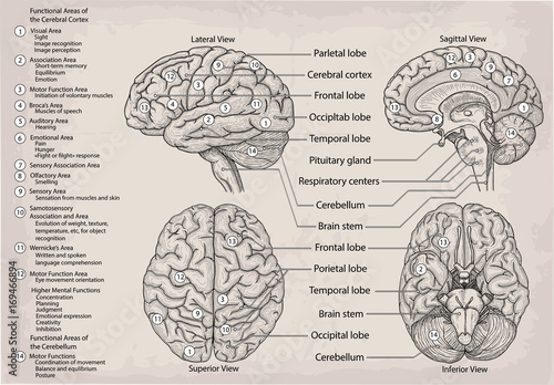 Anatomical diagram of human Brain. Medicine, Vector ...