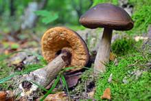 Leccinum Pseudoscabrum Mushroom